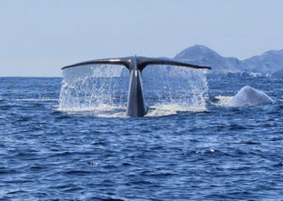 blue-whales-copy